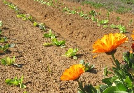Plantas repelentes retorno a la tierra for Alelopatia en hortalizas
